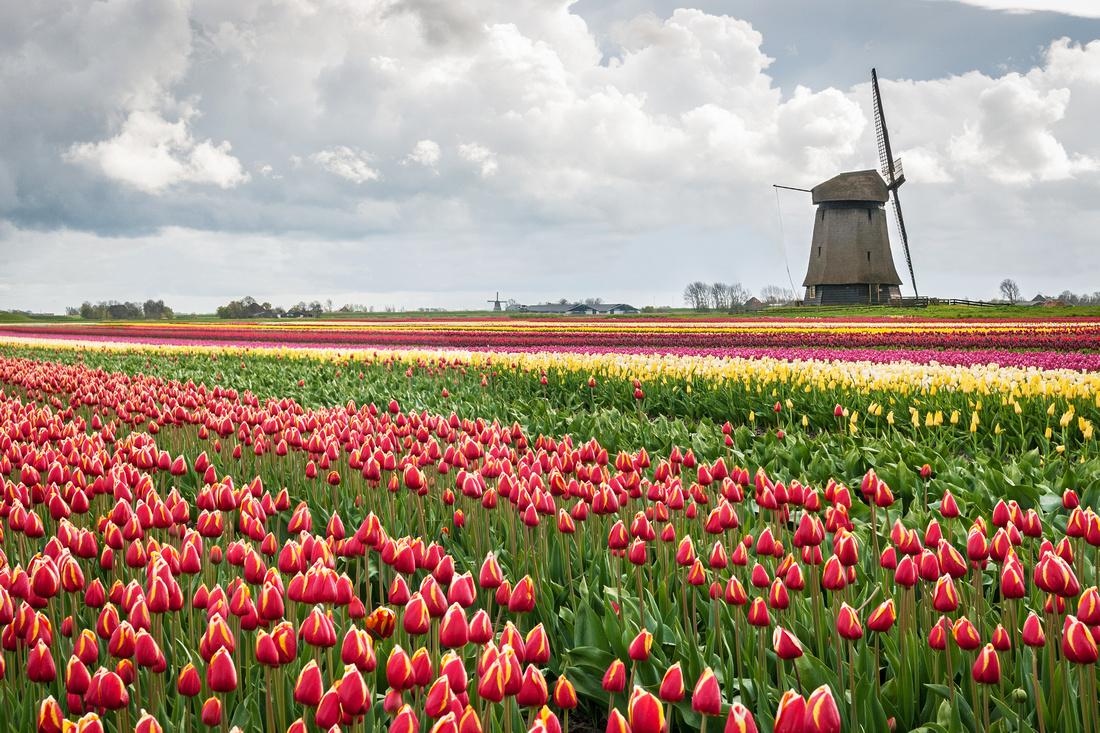 windmill in tulips composite landscape