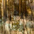 Silver sparkles of golden birches