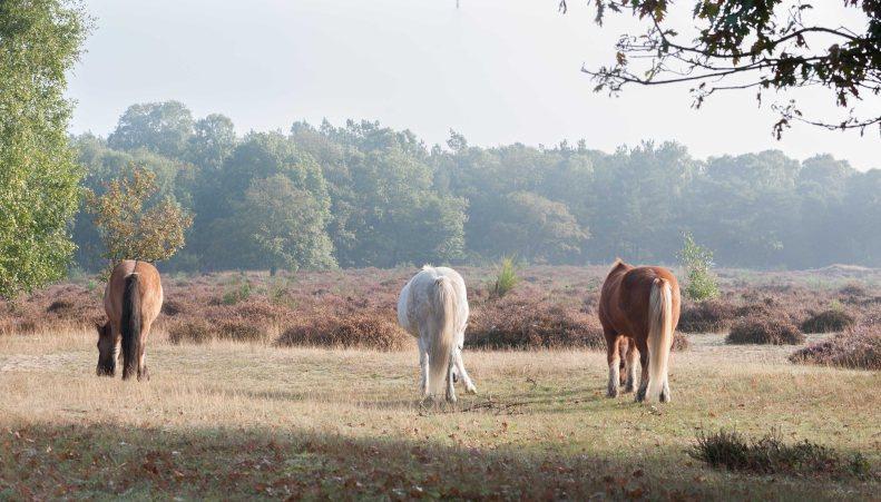 Veluwe zoom - Posbank ponies