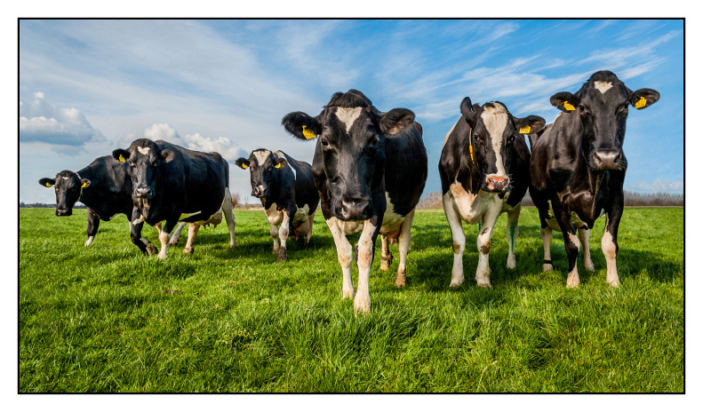 Dairy farming in Holland
