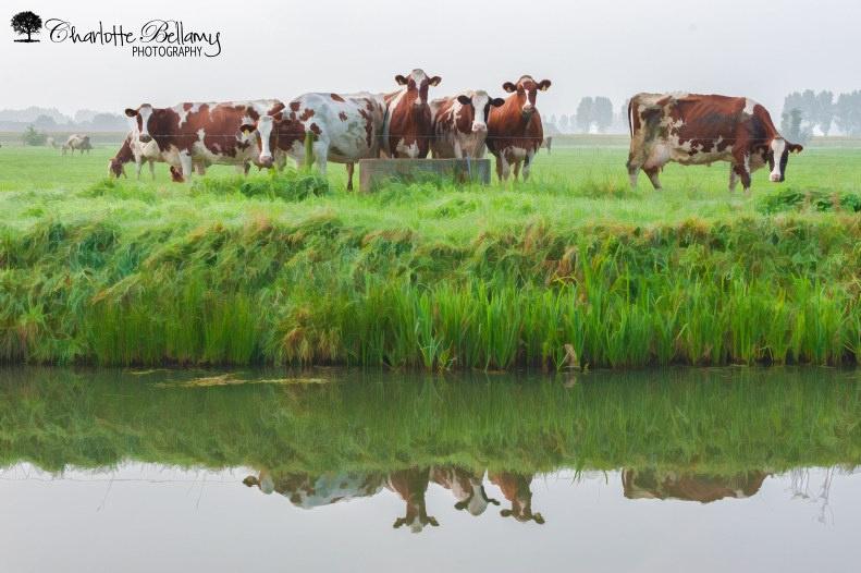 cowsreflection